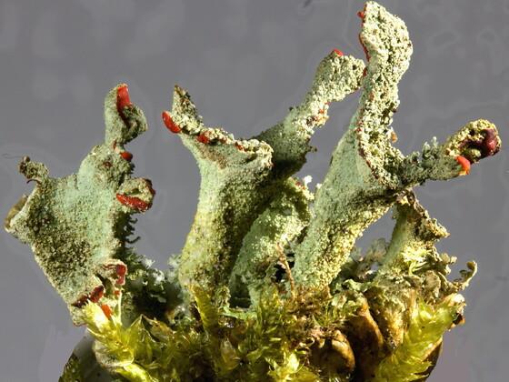 Cladonia coccifera (Echte Scharlachflechte)