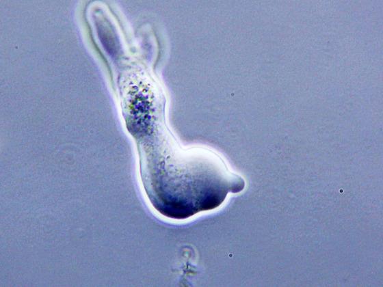 Amoeba spec., schiefe Beleuchtung, polarisiertes Licht