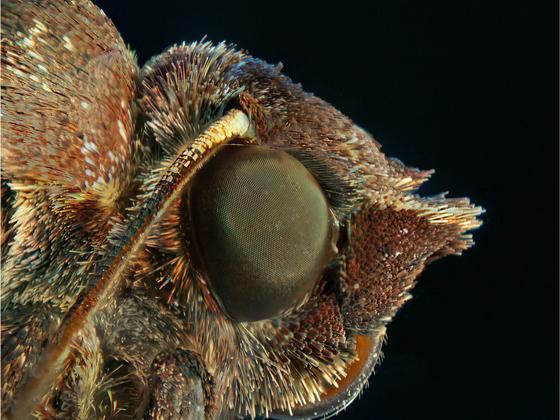 Mottenkopf