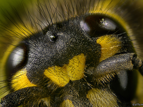Wespenstirn