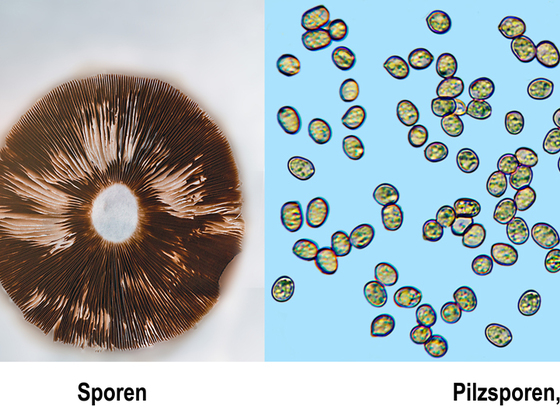 Pilzsporen