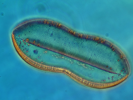 Nitzschia panduriformis