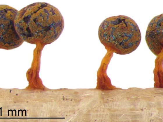 Physarum psittacinum