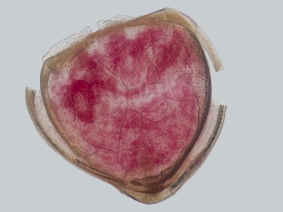 Muschel im Larvenstadium