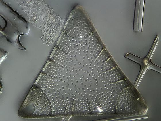 Triceratium