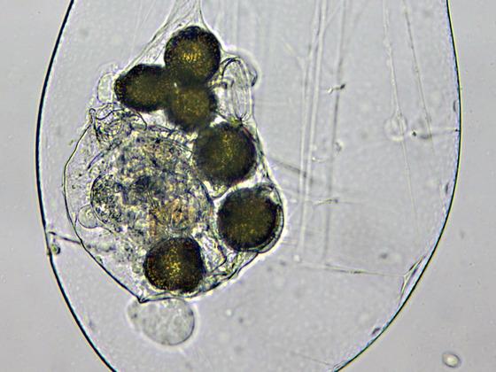 Asplanchna priodonta, Magen