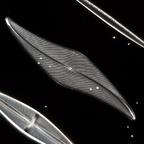 Pleurosigma angulatum