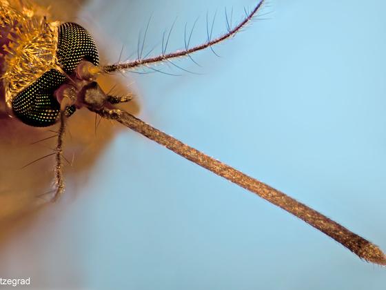 Mückenrüssel