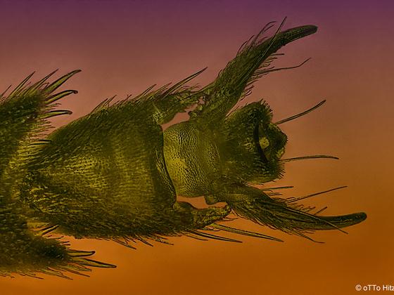 Wespenfuß