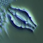 Goniothecium