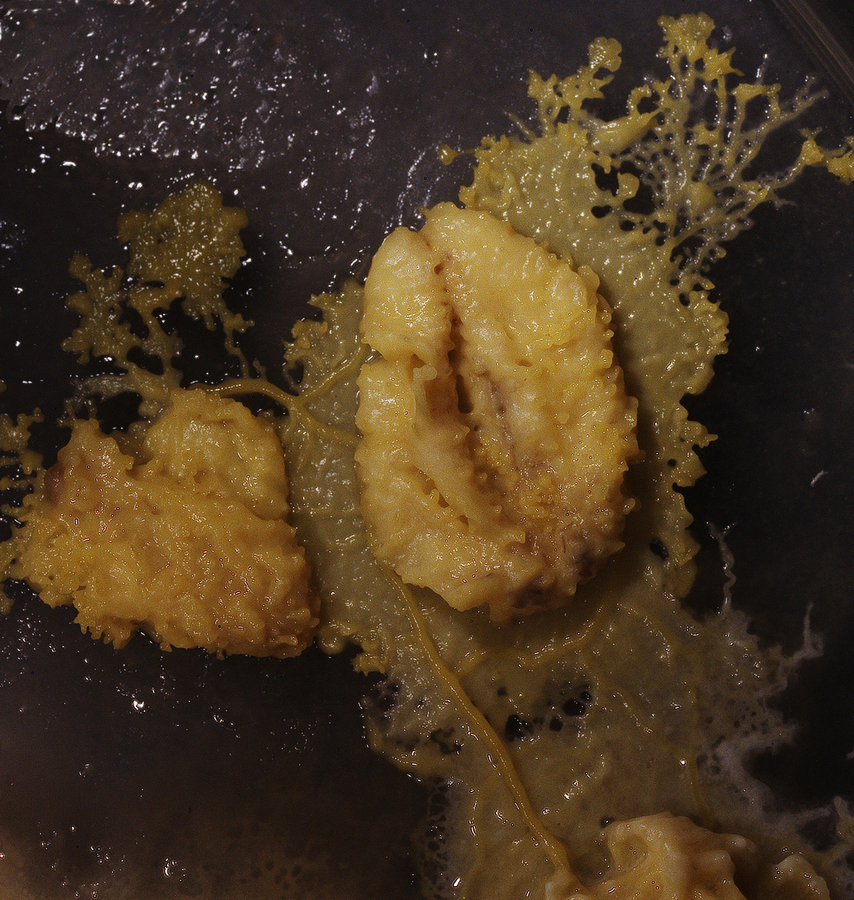 Physarum polycephalum verdaut Haferflocke