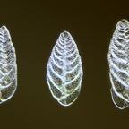 Foramineferngruppe