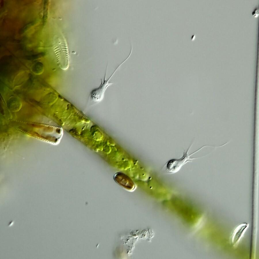 Zwei Becherflagellaten