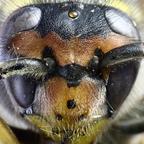Insekt mit Staubkrümel