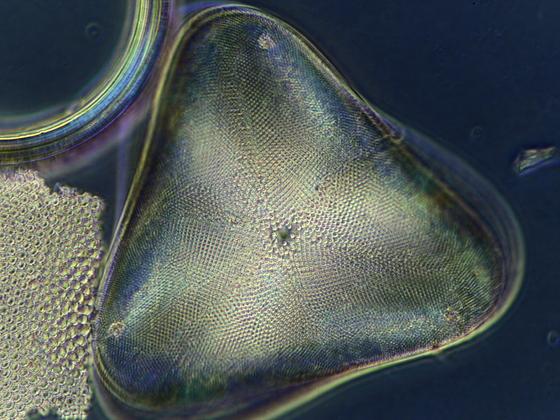 Actinoptychus amblyocerus