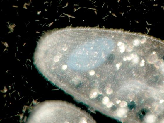 Paramecium caudatum (Silberliniensystem mit Mundfeld) im Dunkelfeld