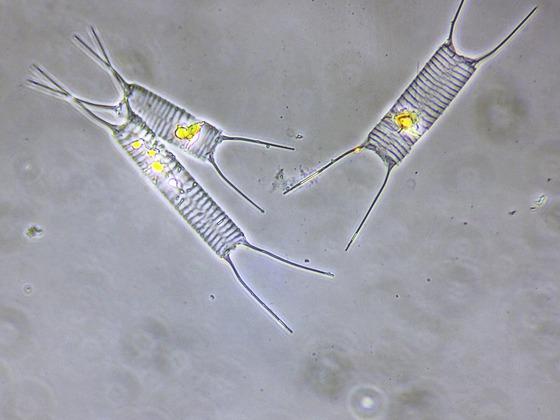 Acanthoceras zachariasii, ehem. Attheya