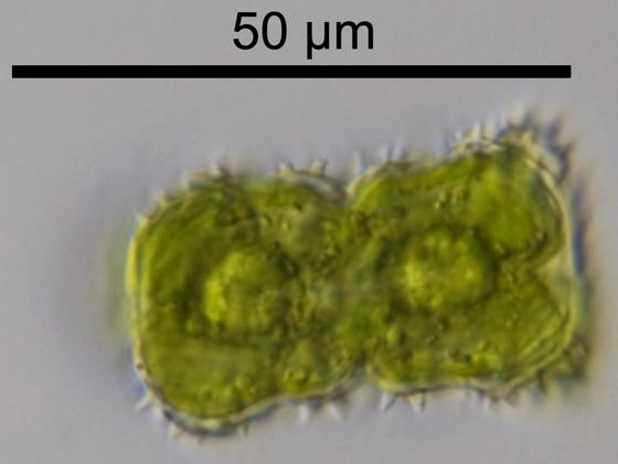 Staurastrum capitulum BREB.