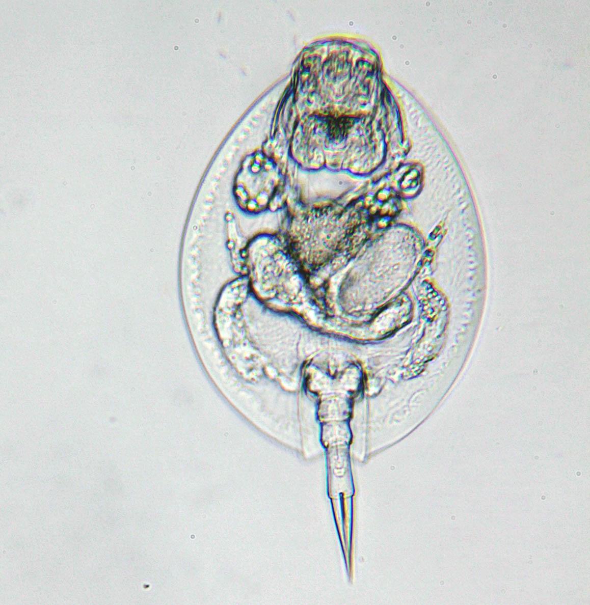 Lepadella spec. (L. ovalis?)