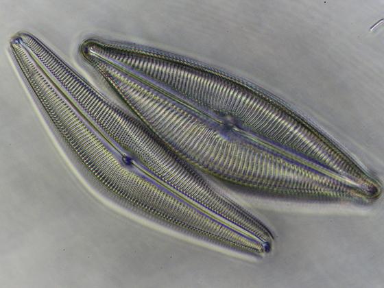 Diatomeenpaar