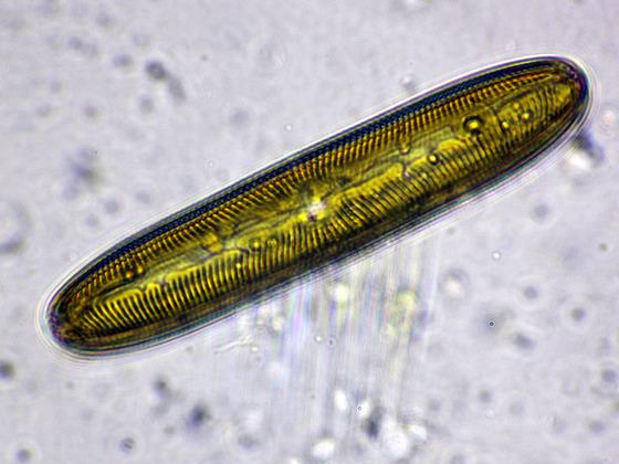 Pinnularia viridis