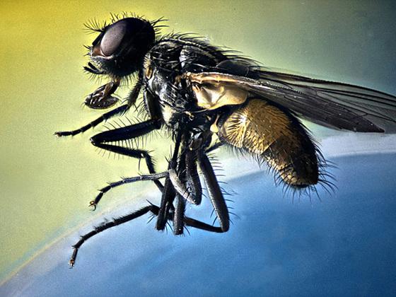 """aus Stackingbeispiele vom """"UFOMI"""" betäubte Fliege"""