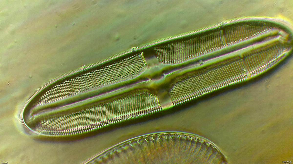 Pinnularia