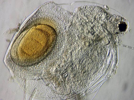 Blattfußkrebs Ceriodaphnia quadrangula, schiefe Beleuchtung