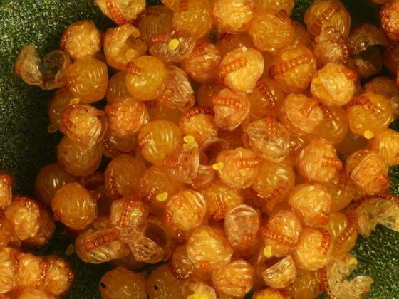 gewöhnlicher Tüpfelfarn, Polypodium vulgare