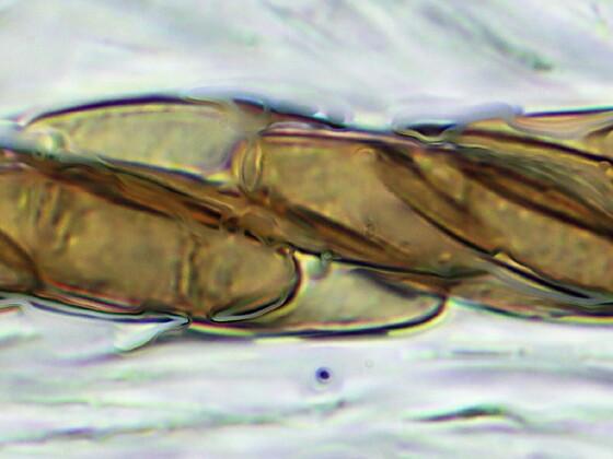 Solorina  crocea (Safranflechte)