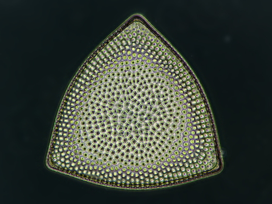 Triceratium im Phasenkontrast