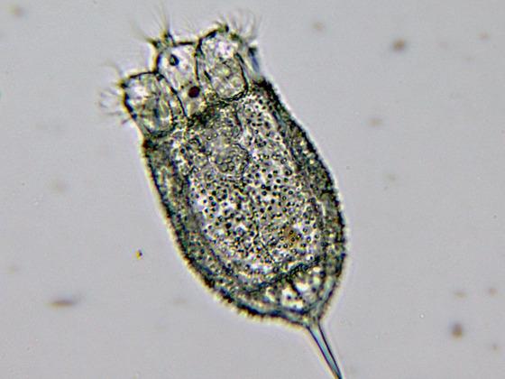 Keratella cochlearis v. hispida