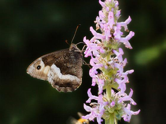 Weißer Waldportier (Brintesia circe) , Rote Liste