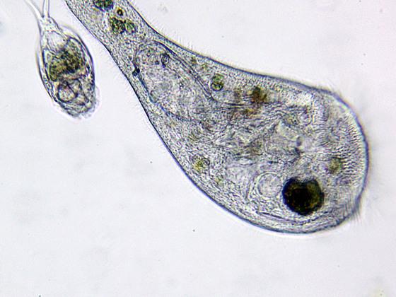 Stentor (Einzeller) fraß Lepadella (Mehrzeller)