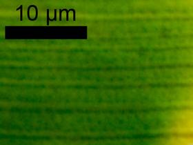 Closterium striolatum EHR. ex RALFS