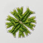Micrasterias crux-melitensis (EHRENBERG) HASSALL. ex RALFS