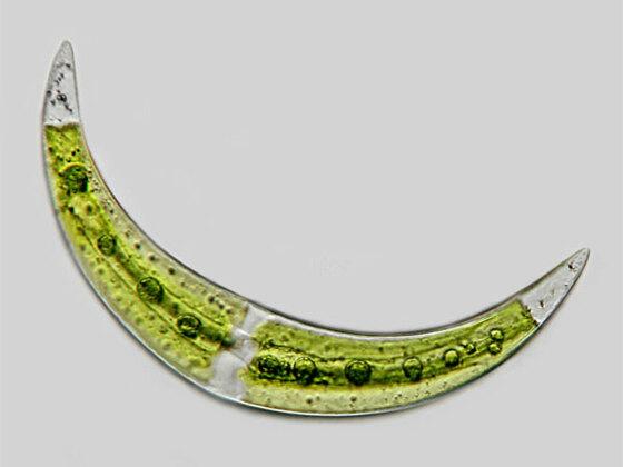 Closterium moniliferum (BORY) EHRENBERG ex. RALFS