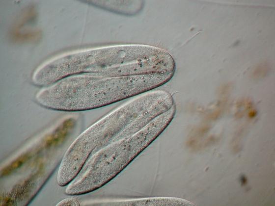 Paramecium cadatum in Konjugation